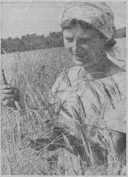 Агроном Р. Палёва, осматривает перед уборкой поле ржи.